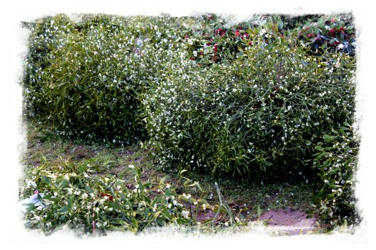 Bunches of wholesale mistletoe for sale at Tenbury Auctions ©vcsinden